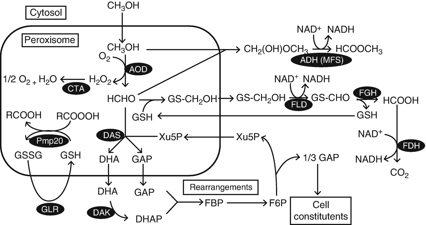 Glutathione Metabolism in Yeasts and Construction of the
