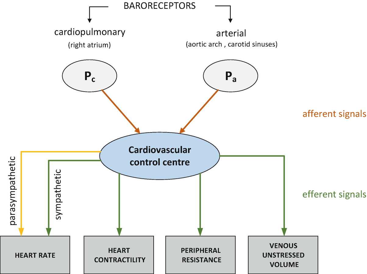 Integrated Model of Cardiovascular System, Body Fluids and