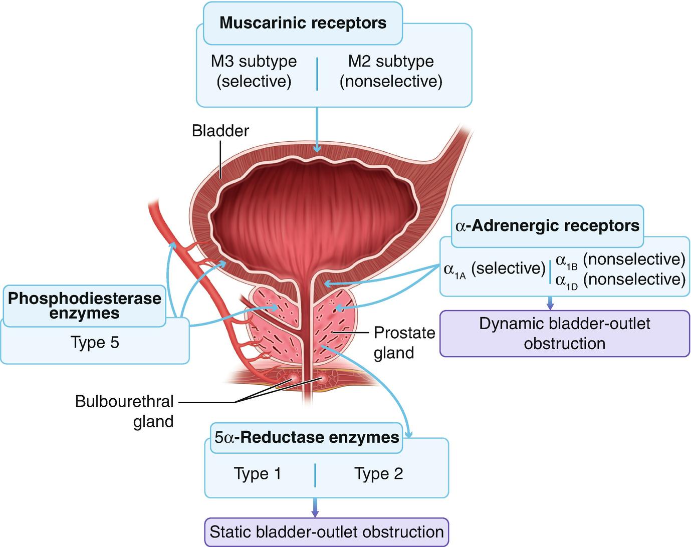 Medical Management Of Benign Prostatic Hyperplasia Springerlink