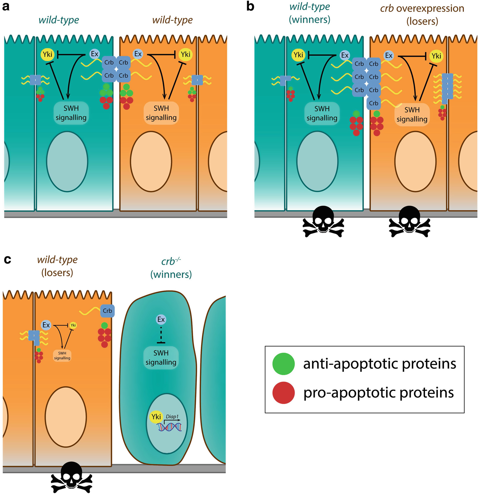 Drosophila Models of Cell Polarity and Cell Competition in