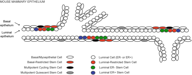 Heterogeneity of Mammary Stem Cells   SpringerLink