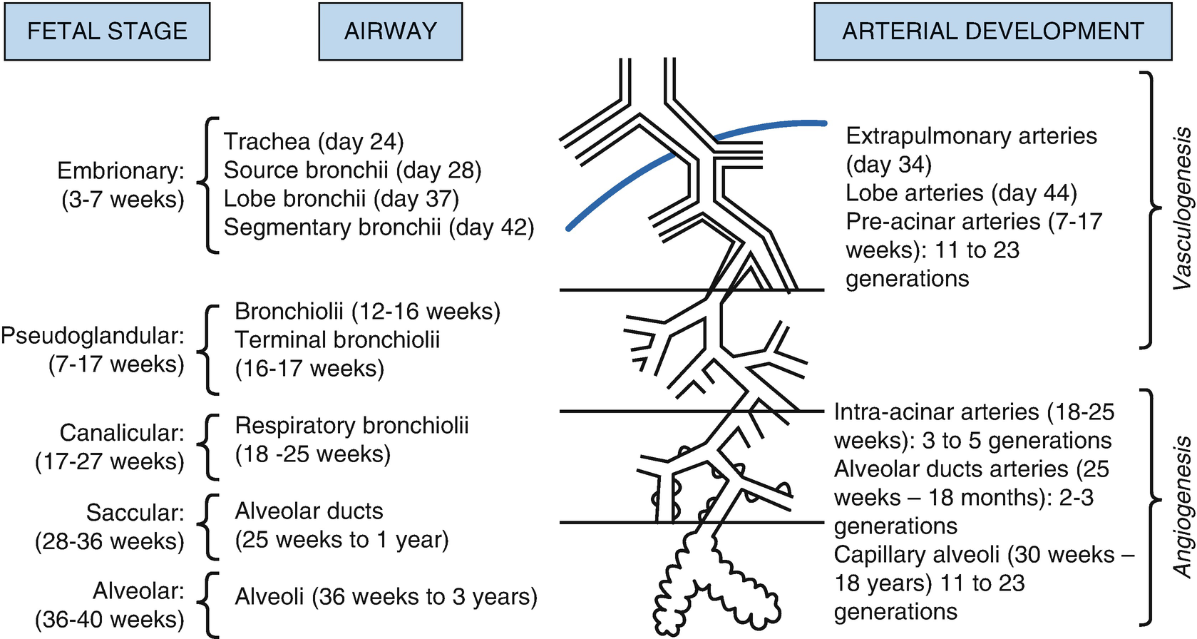 Development Of The Respiratory System Springerlink
