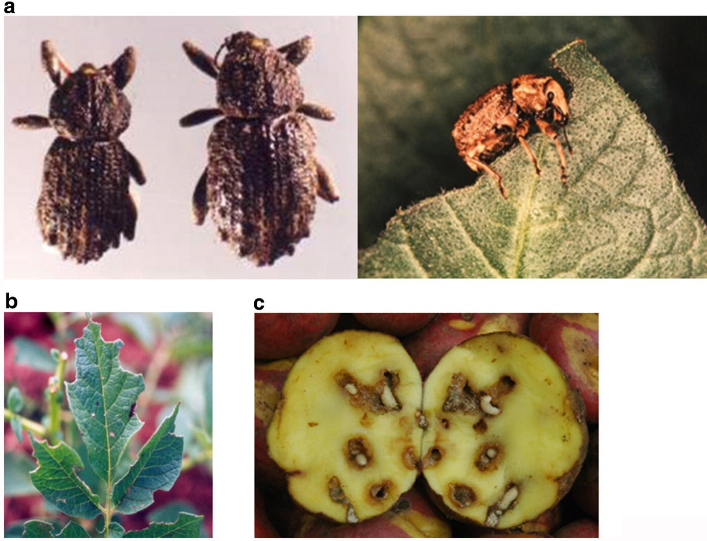 Insect Pests Affecting Potatoes In Tropical Subtropical And Temperate Regions Springerlink