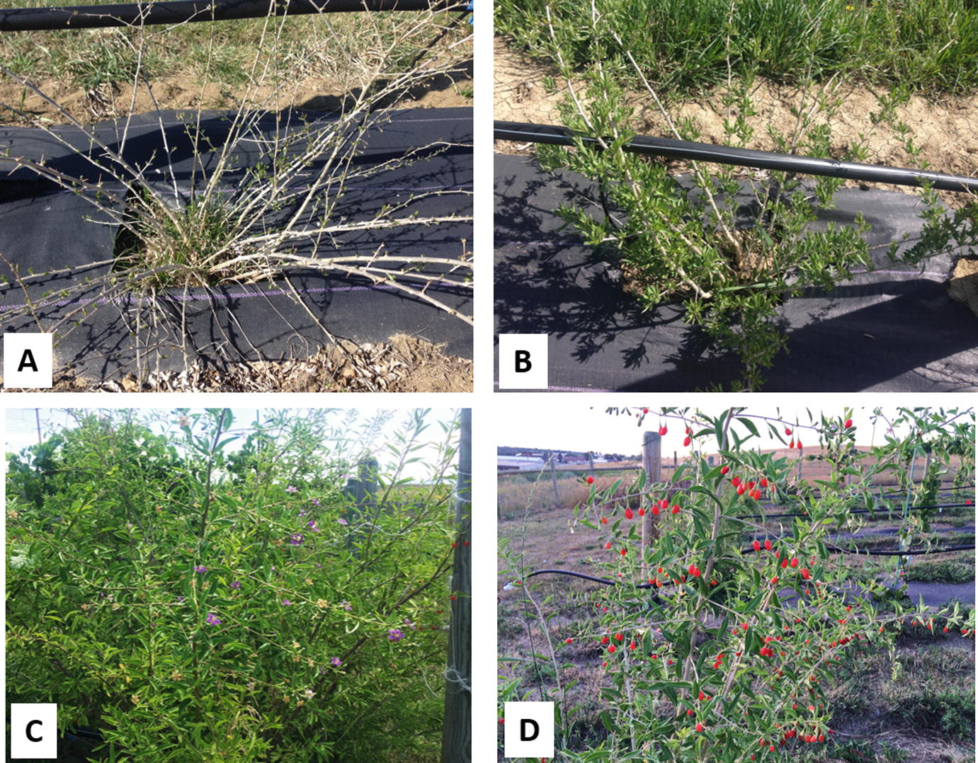 Prospects For Goji Berry Lycium Barbarum L Production In North