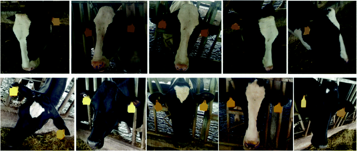 Dairy Cow Tiny Face Recognition Based on Convolutional
