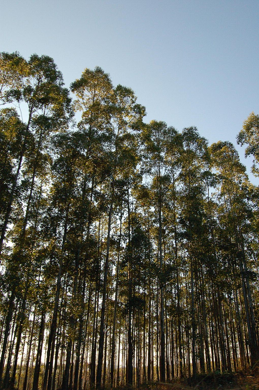 European Mountain Ash seeds NO GMO- Ash 100/% Naturel 10 Amur Ash