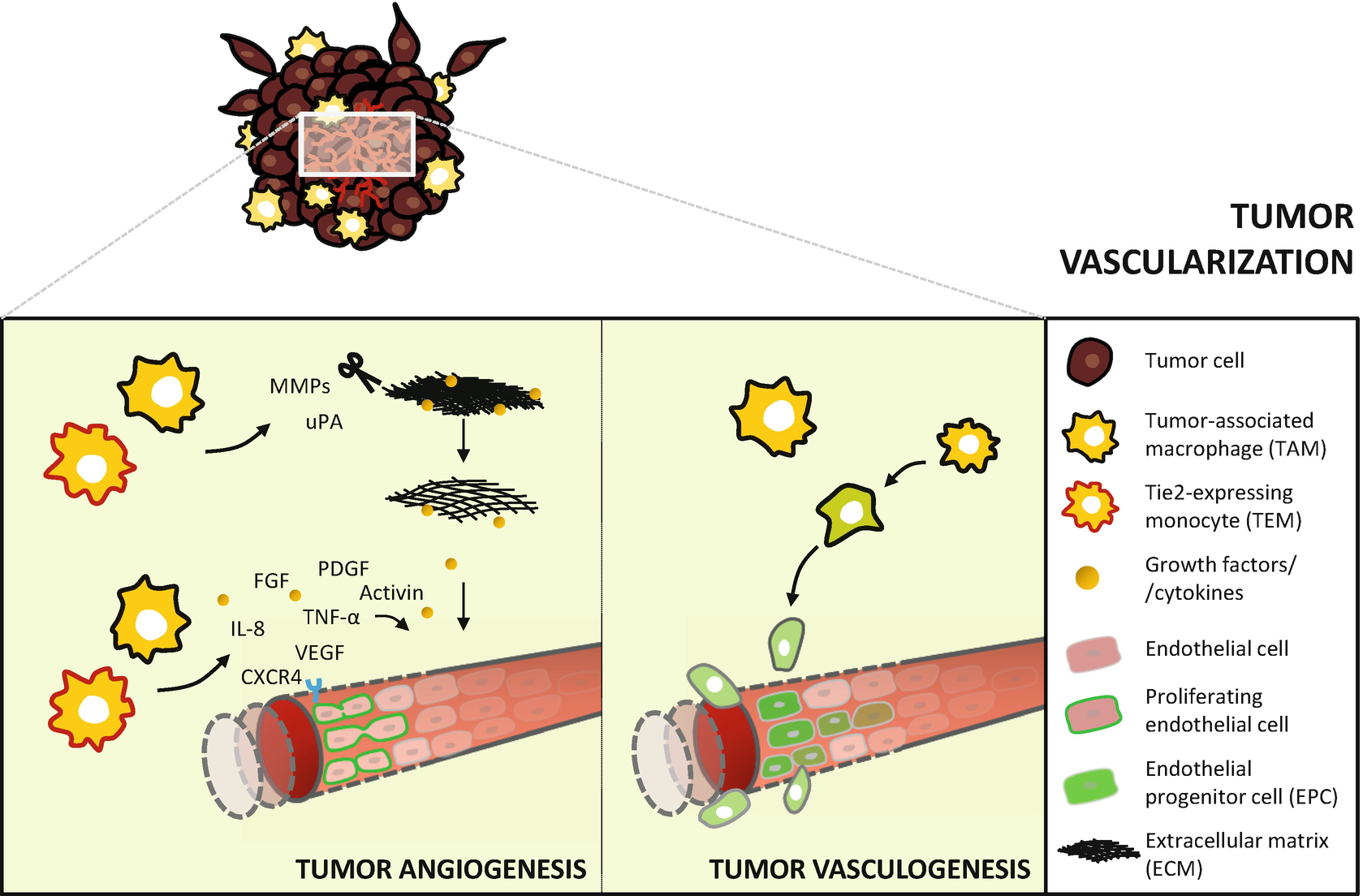 Monocytes And Macrophages In Cancer Unsuspected Roles