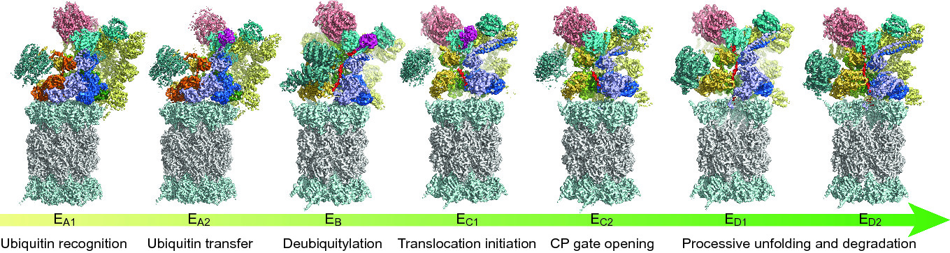Structure, Dynamics and Function of the 26S Proteasome   SpringerLink