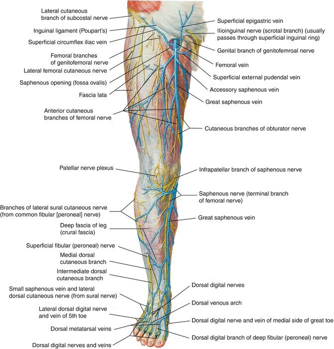 Anatomy Springerlink