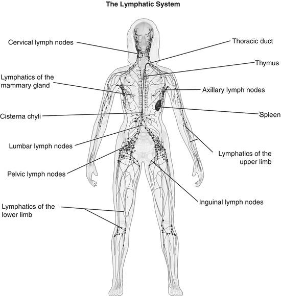 Lymphadenopathy Springerlink