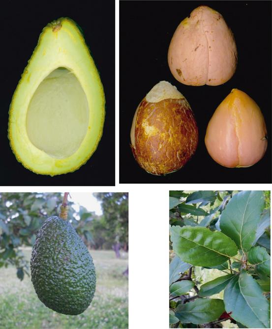 avocado history biodiversity and production springerlink rh link springer com