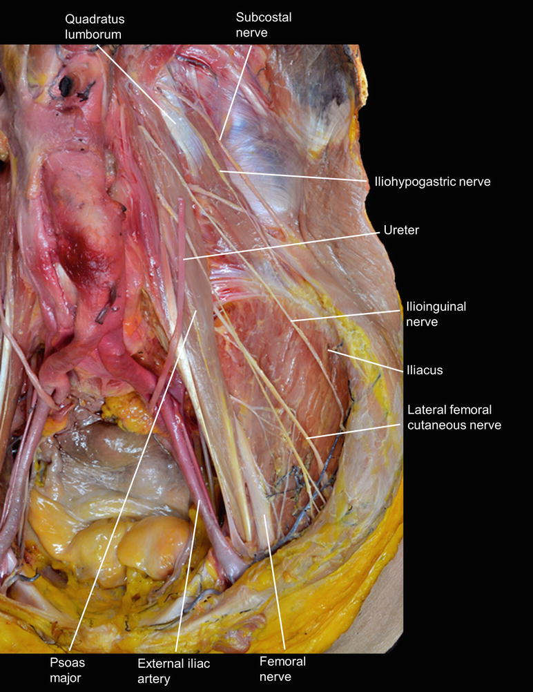 Macroscopic View Of The Lumbar Plexus And Sacral Plexus Springerlink