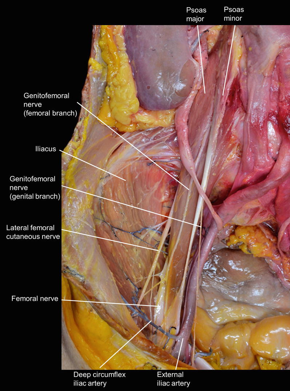 Macroscopic View of the Lumbar Plexus and Sacral Plexus | SpringerLink