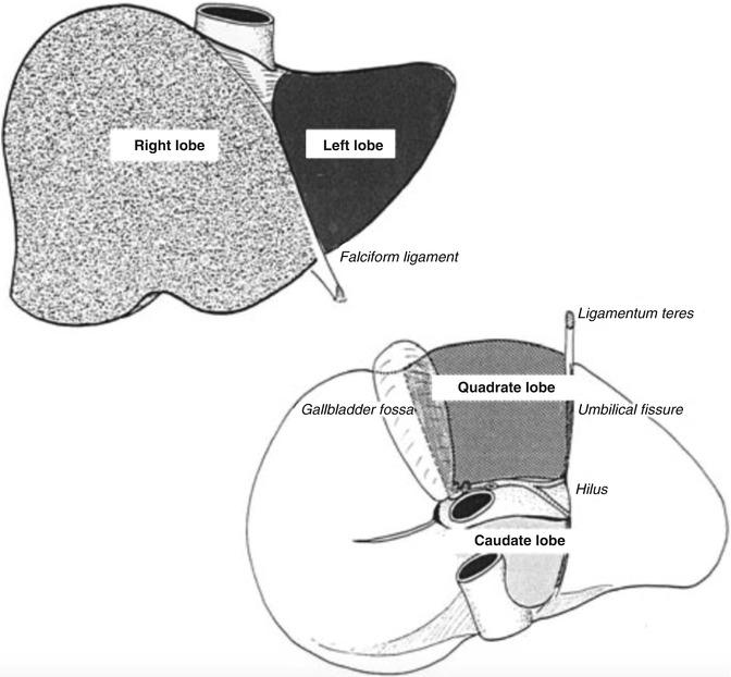 Liver Surgical Anatomy | SpringerLink