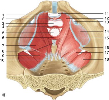Anatomy And Physiology Of The Pelvic Floor Springerlink