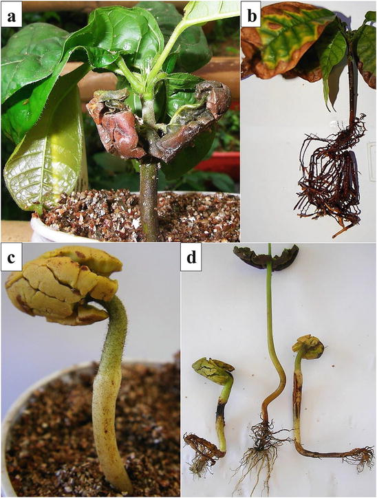 Witches' Broom Disease ( Moniliophthora perniciosa): History