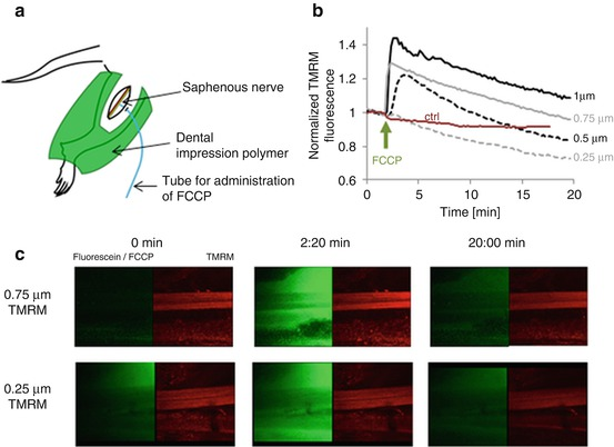 Mitochondrial function and dynamics imaged in vivo springerlink open image in new window fandeluxe Choice Image