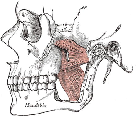 Embryology and Anatomy of the Oral Cavity and Pharynx | SpringerLink