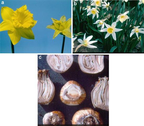 0d7a5fec726f Diseases of Daffodil ( Narcissus) | SpringerLink