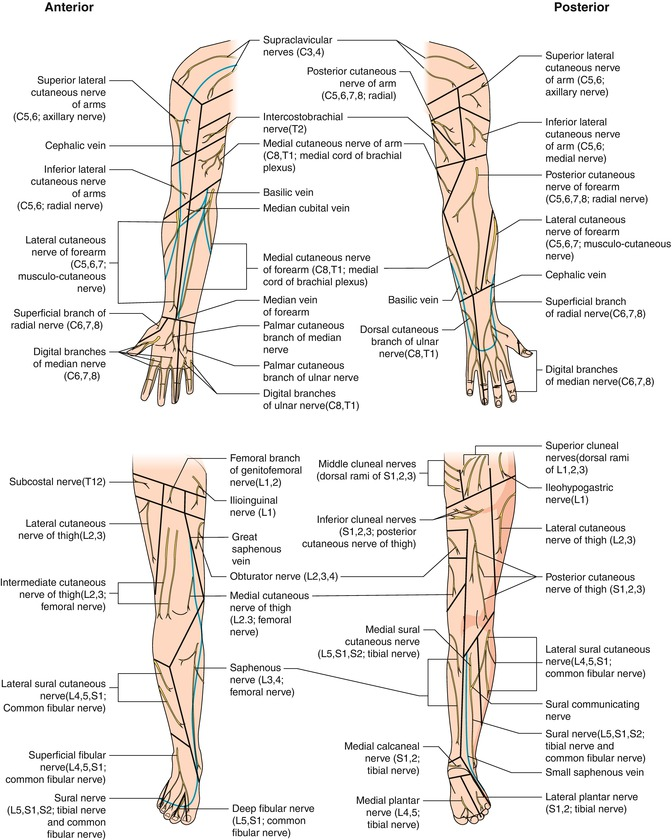 Cluneal Nerve Anatomy Gallery - human body anatomy