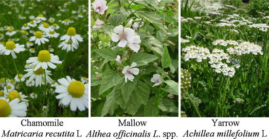 Matricaria chamomilla 100 GERMAN CHAMOMILE SEEDS ; Versatile medicinal herb
