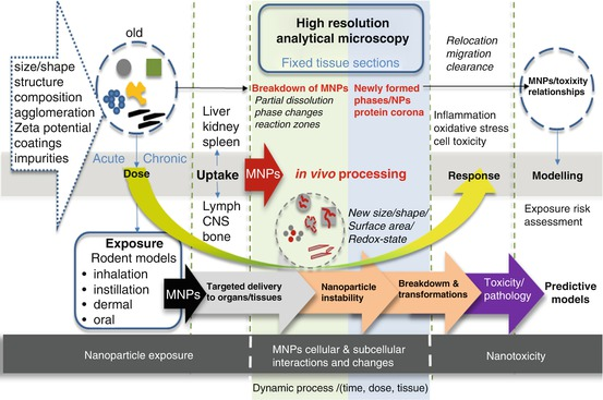 From Dose to Response: In Vivo Nanoparticle Processing and