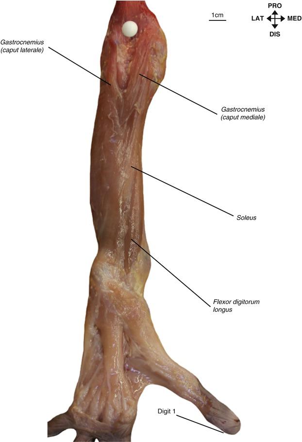 Lower Limb Musculature and Lumbosacral Plexus | SpringerLink