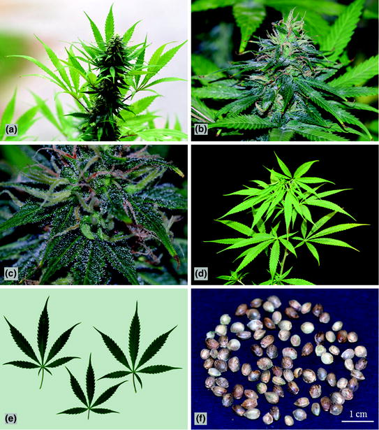 Morpho-Anatomy of Marijuana ( Cannabis sativa L.) | SpringerLink