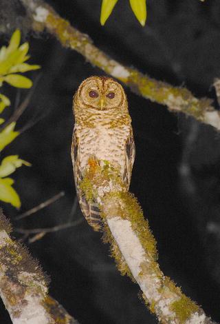 The Owls of Brazil | SpringerLink
