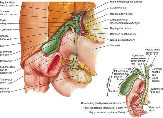 Anatomy Of The Pancreas And Biliary Tree Springerlink