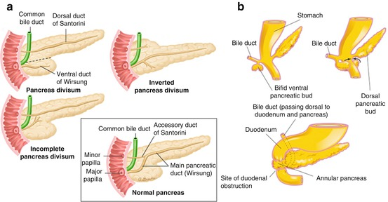 Anatomy of the Pancreas and Biliary Tree | SpringerLink
