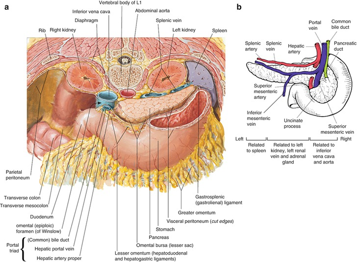 Anatomy Of The Pancreas And Biliary Tree Springerlink