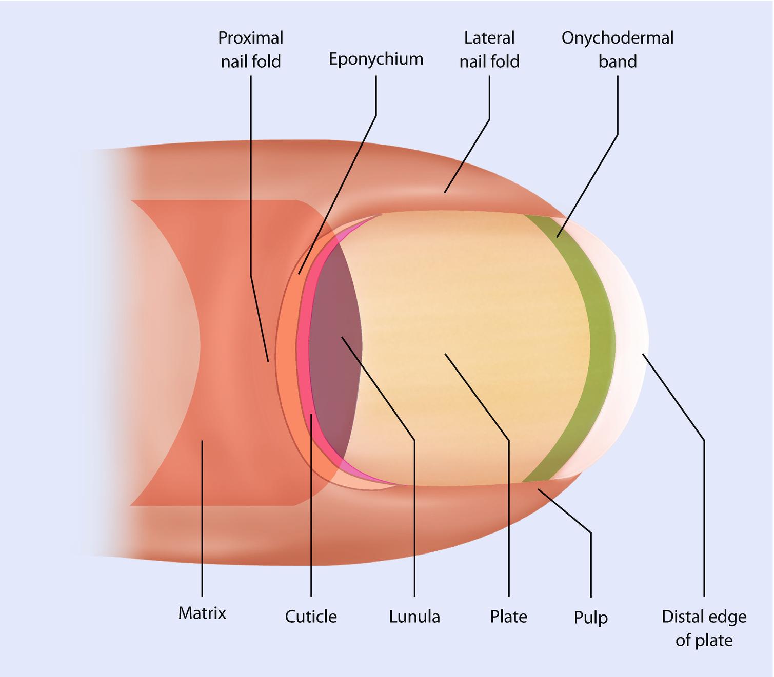 Normal Nail Anatomy, Normal Nail Histology, and Common Reaction ...