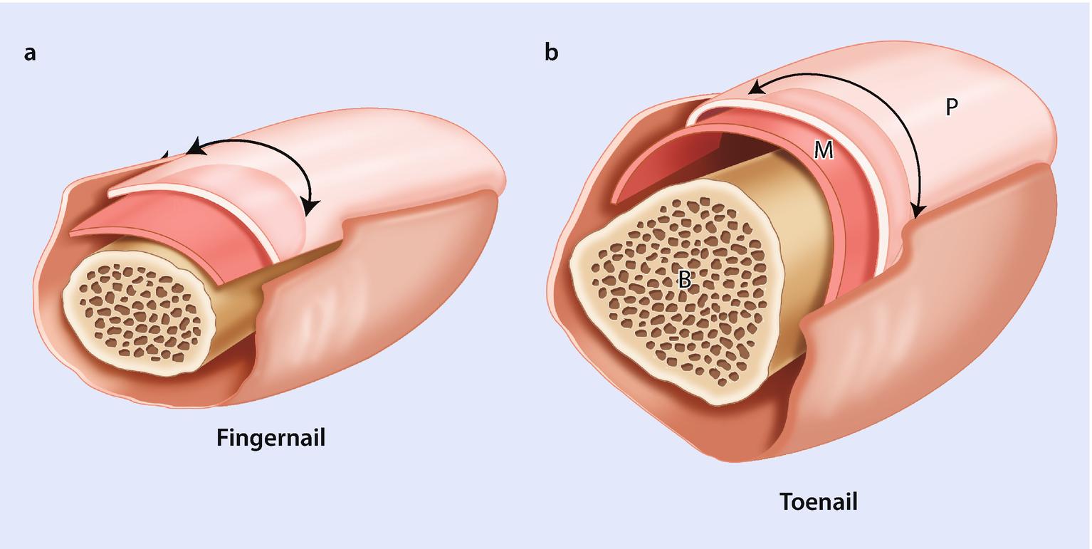 Normal Nail Anatomy Normal Nail Histology And Common Reaction