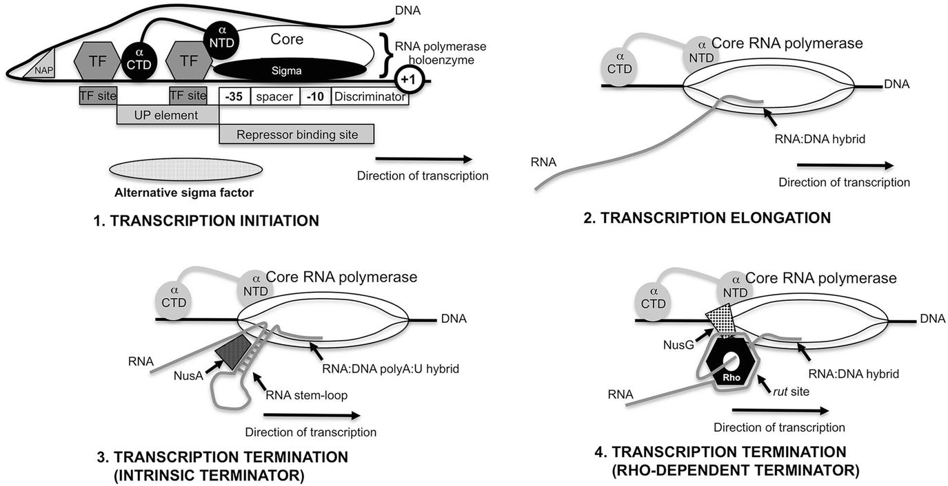 The Evolution of Gene Regulatory Mechanisms in Bacteria