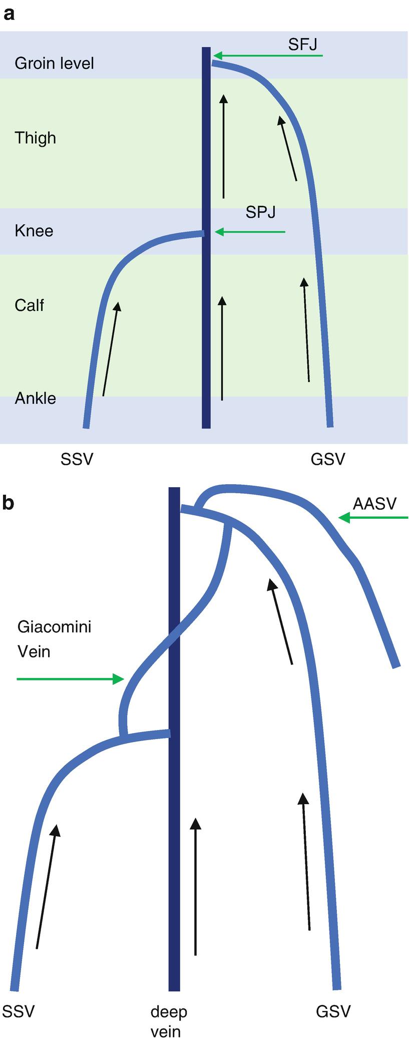 Attractive Vein Of Giacomini Anatomy Ornament - Anatomy Ideas ...