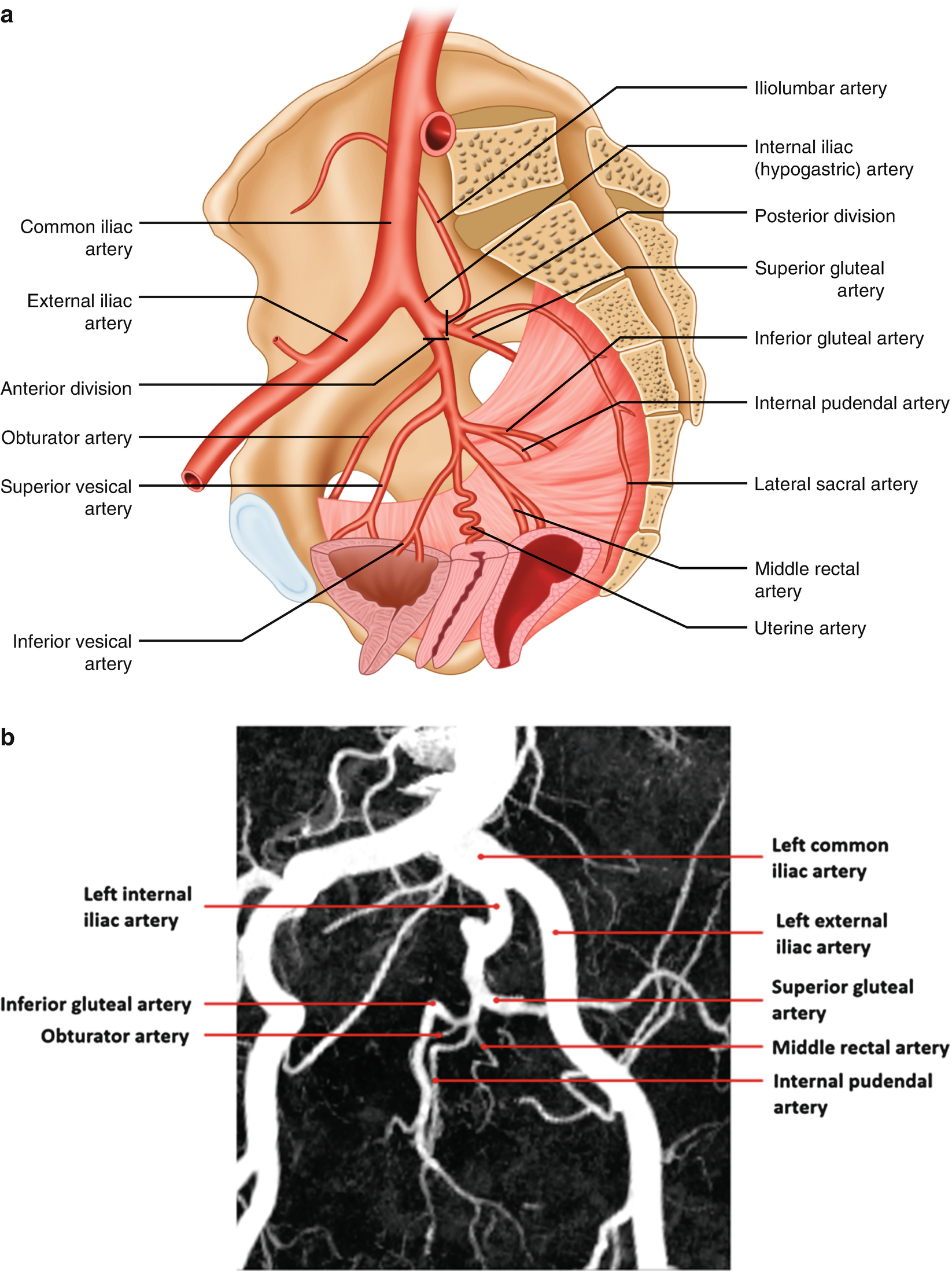 Fancy Internal Pudendal Artery Anatomy Collection - Anatomy and ...