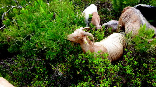 Introductory Chapter Is There A Future For Goat Pastoral Systems