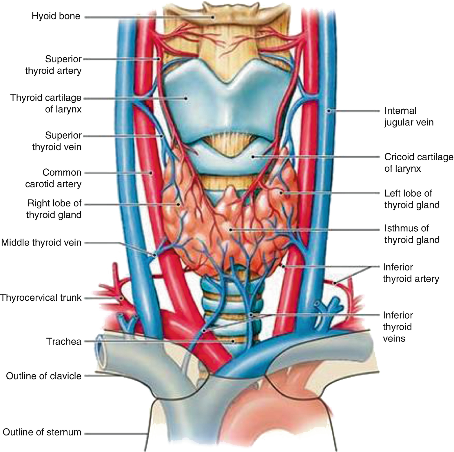 Anatomy And Physiology Of The Thyroid Gland Springerlink