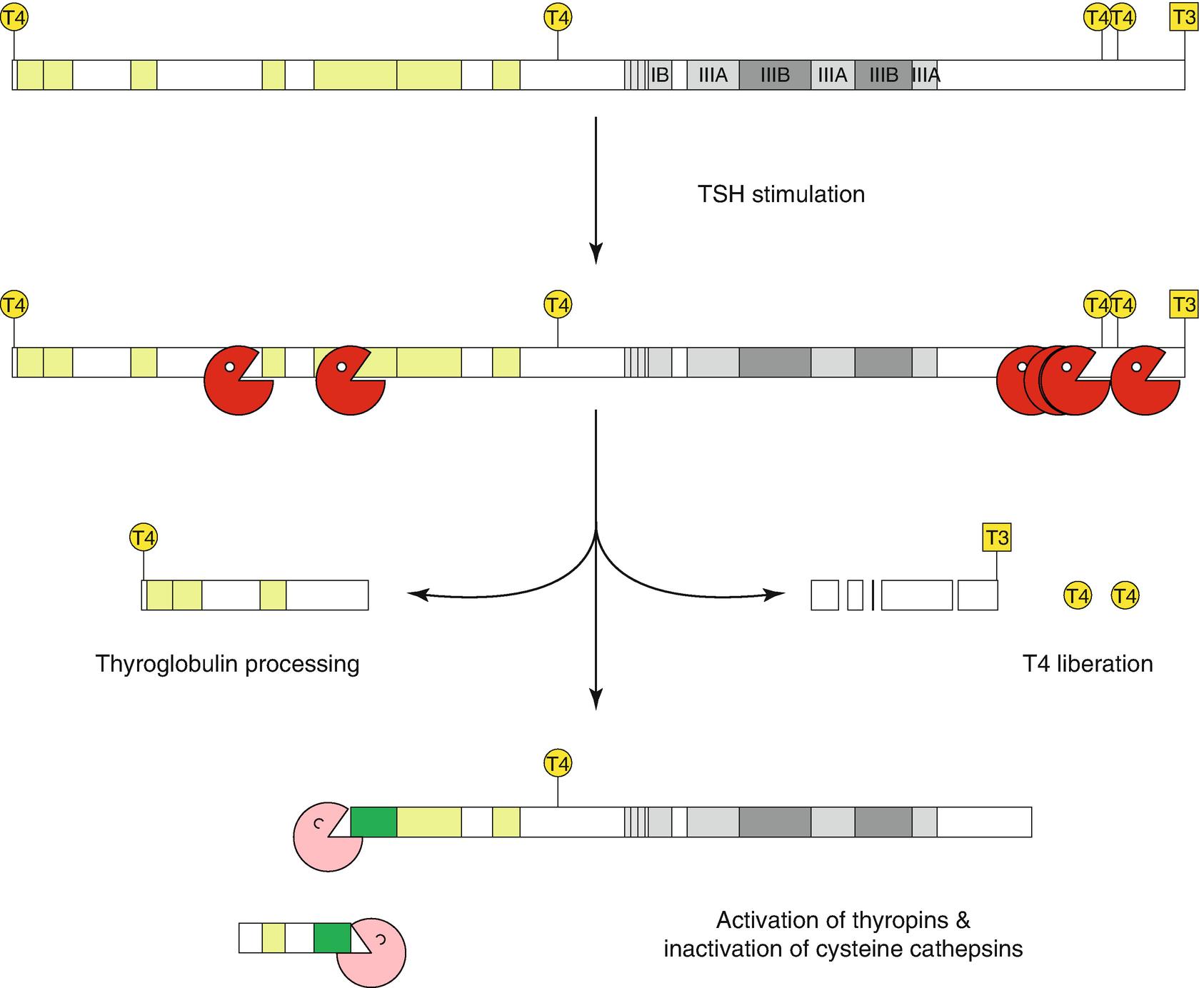 Thyroglobulin Storage Processing And Degradation For Thyroid