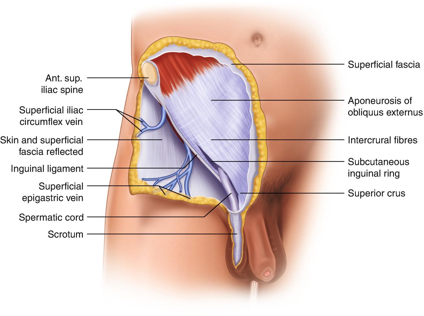 Anatomy Of The Inguinal Region Springerlink