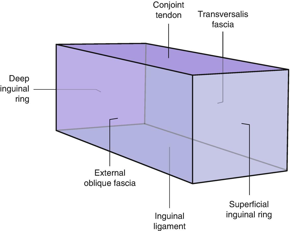 Anatomy of the Inguinal Region | SpringerLink