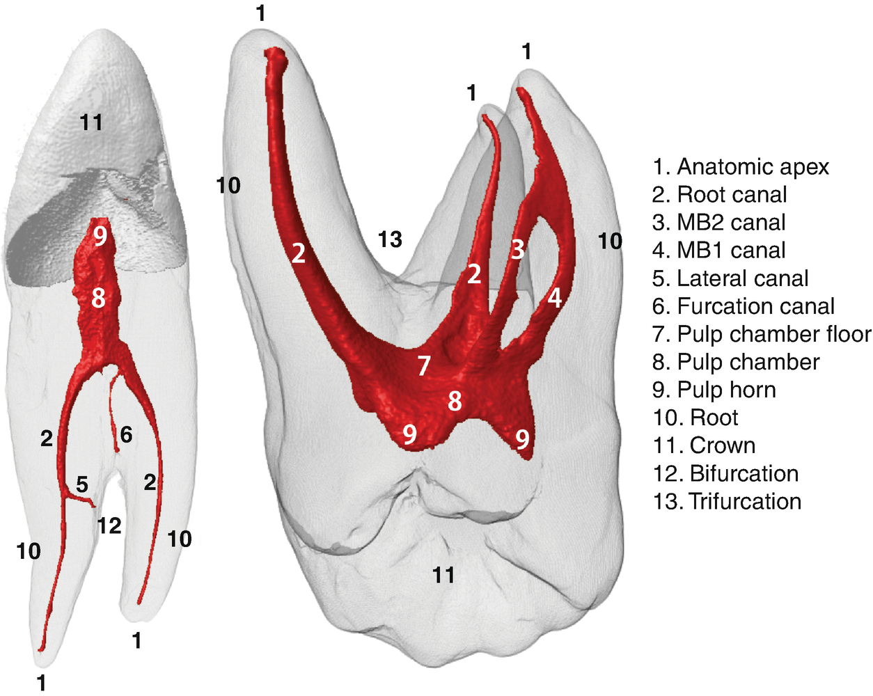 3D Visual Glossary of Terminology in Root and Root Canal Anatomy ...
