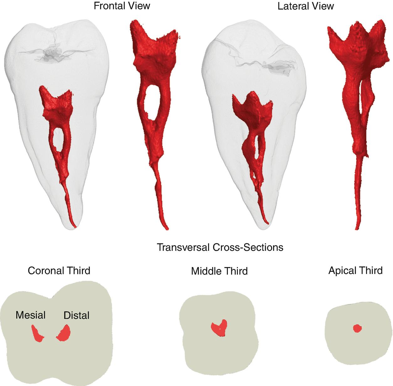Root Canal Anatomy Of Maxillary And Mandibular Teeth