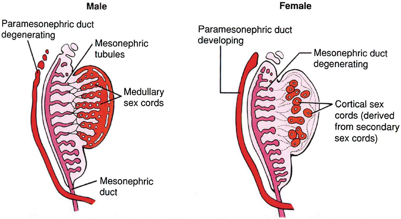Testis Development, Embryology, and Anatomy | SpringerLink