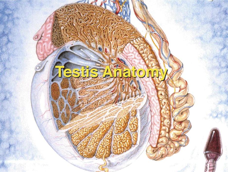 Testis Development Embryology And Anatomy Springerlink