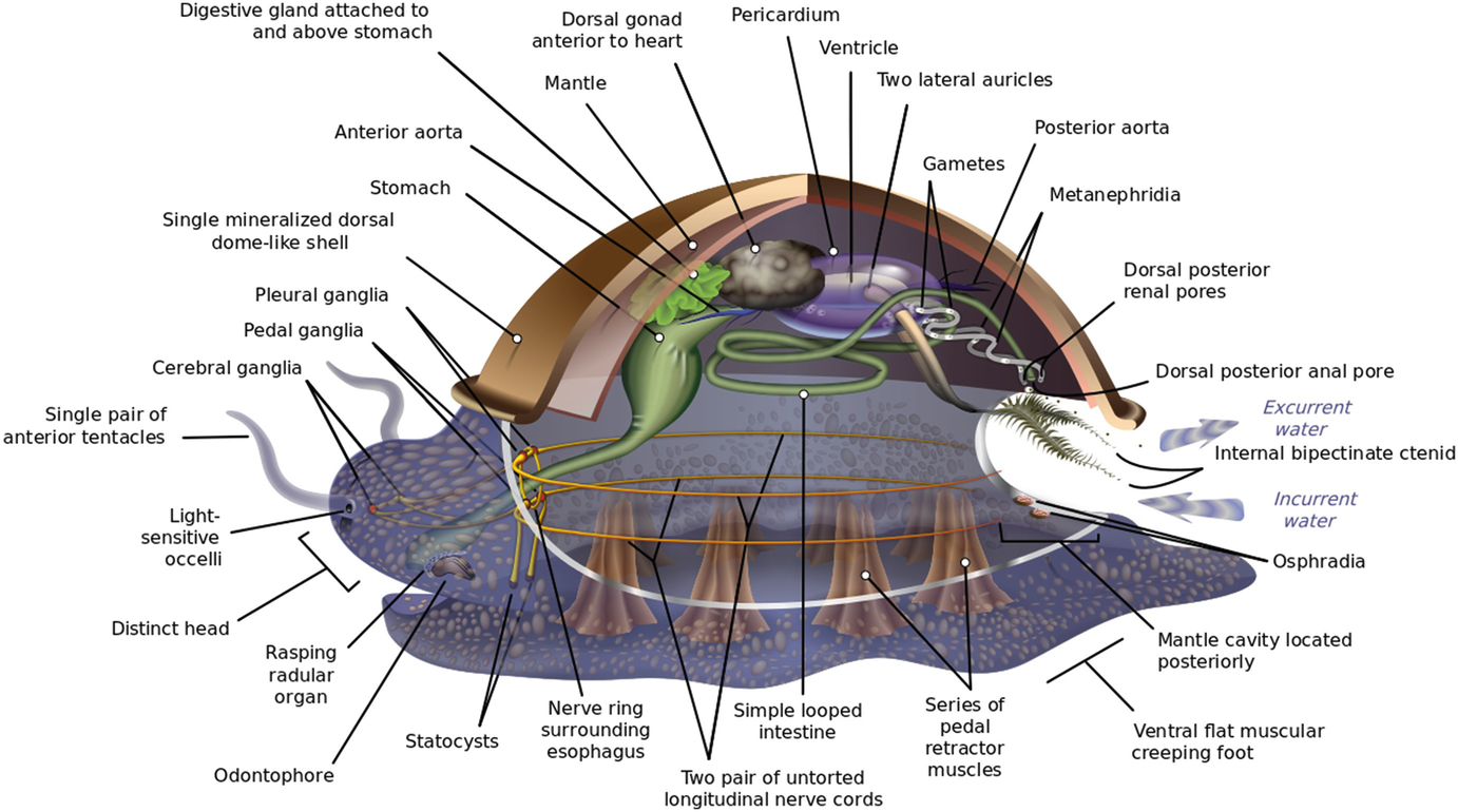 Immunity in Molluscs: Recognition and Effector Mechanisms, with a ...