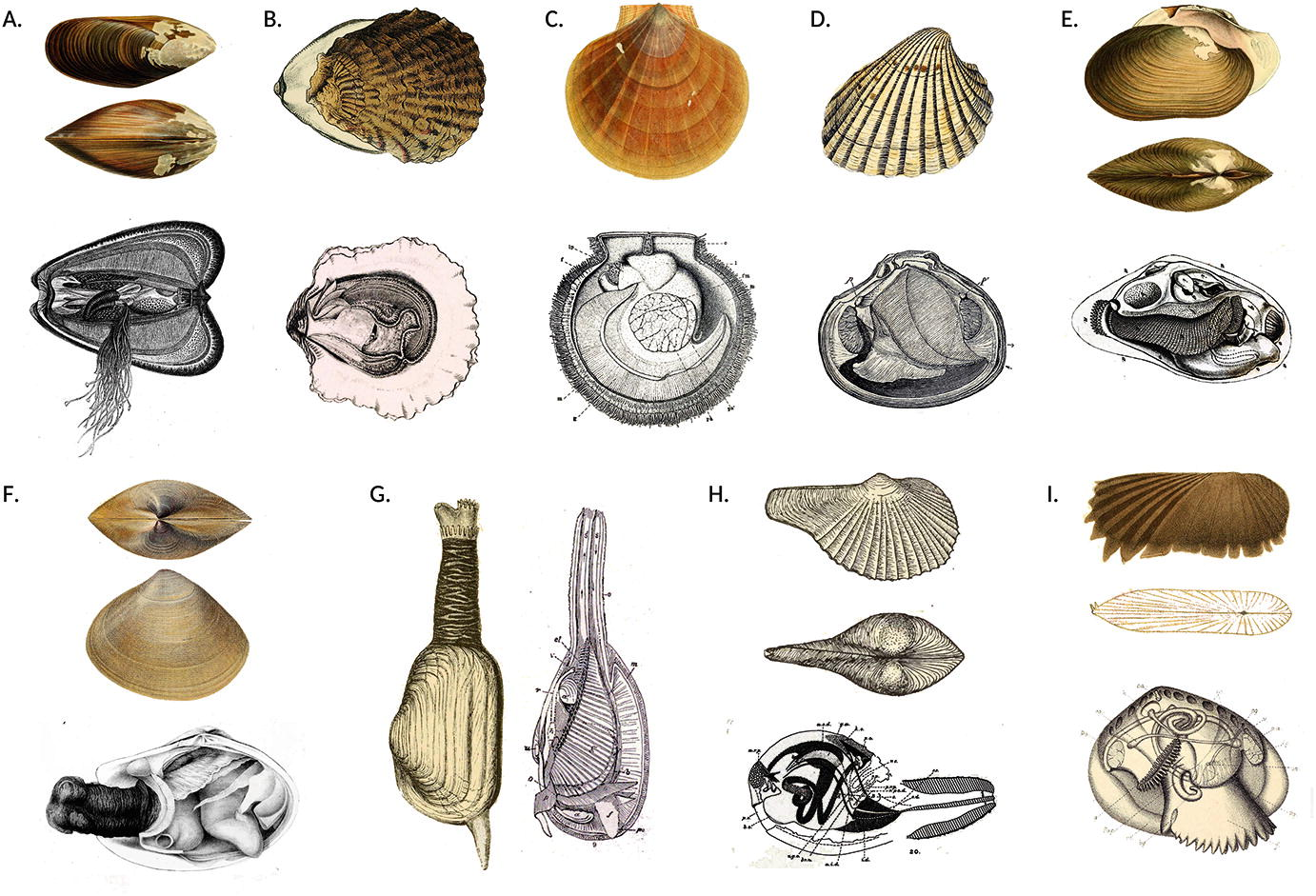 Immunity in Molluscs: Recognition and Effector Mechanisms