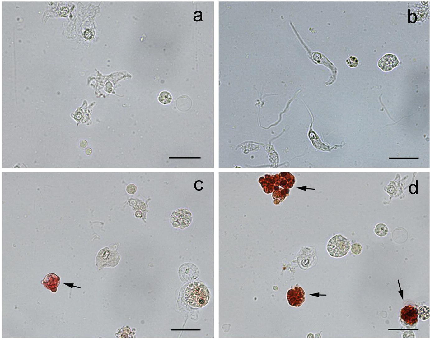 Echinodermata: The Complex Immune System in Echinoderms | SpringerLink