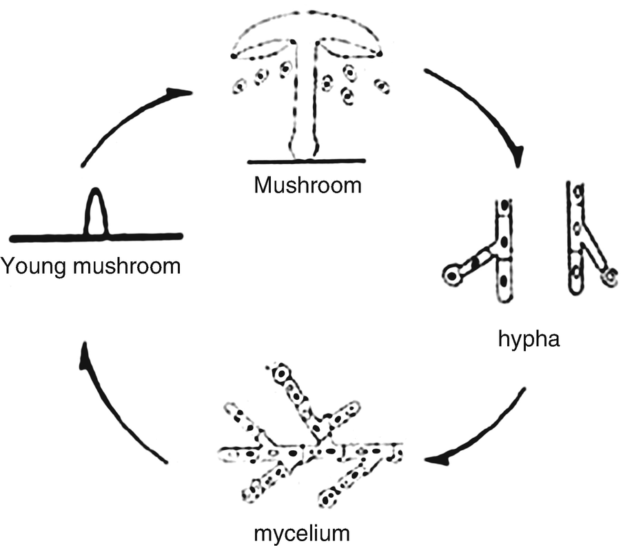 Edible Mushrooms: Cultivation, Bioactive Molecules, and
